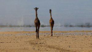 Giraffe Monitoring (WNI) - Featured Image