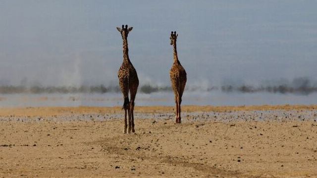 Giraffe Monitoring (WNI) - Featured Image