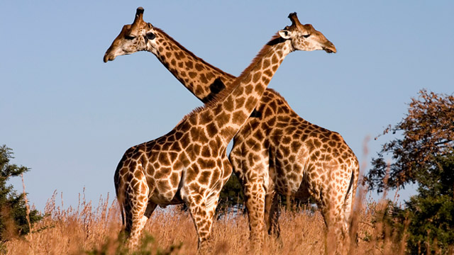 Giraffe Meat - Featured Image