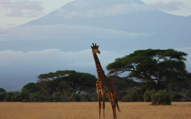 Giraffe Anti Poaching Image 01