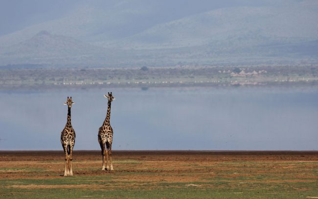 Giraffe Anti Poaching Image 02