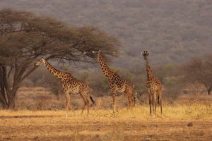 Giraffe Anti Poaching Image 03