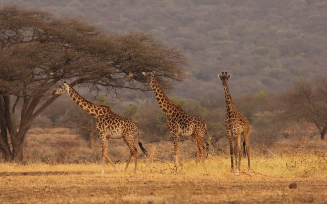 Giraffe Anti Poaching Image 03