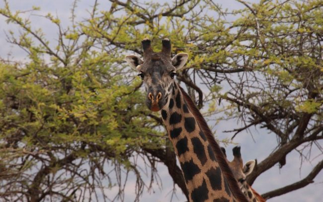 Giraffe Anti Poaching Image 04