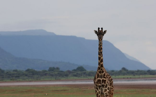 Giraffe Anti Poaching Image 05