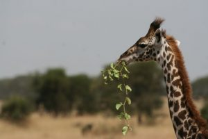 Giraffe Anti Poaching Image 06
