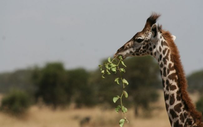 Giraffe Anti Poaching Image 06