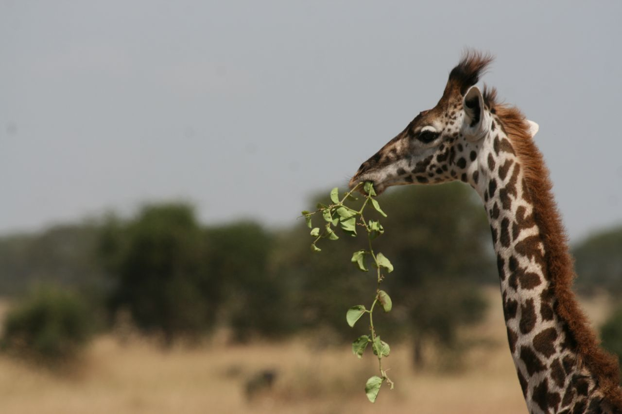 giraffe protection u2013 pams foundation