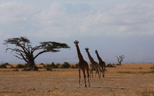 Giraffe Monitoring Image 01
