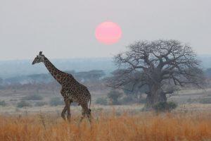 Giraffe Monitoring Image 02