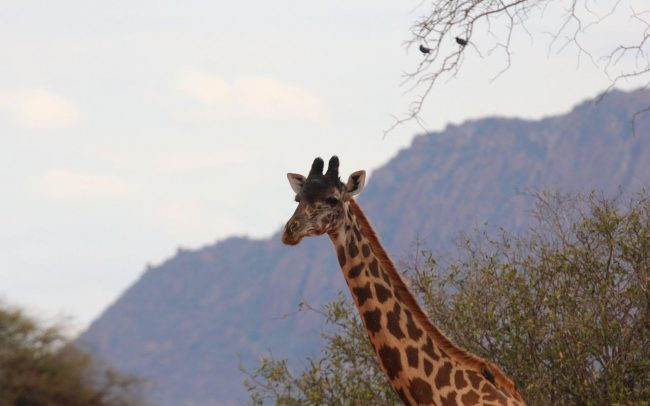 Giraffe Monitoring Image 04