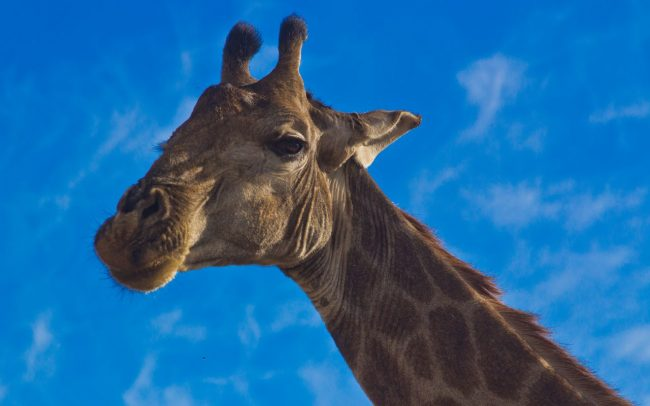 Giraffe Monitoring Image 05
