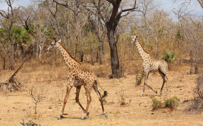 Giraffe Monitoring Image 06