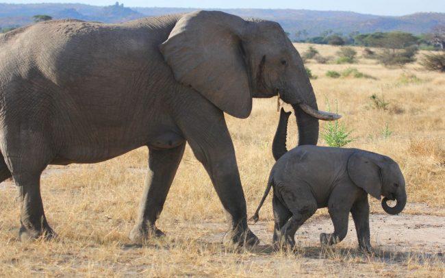 PAMS Tanzania Elephant Project Image 03
