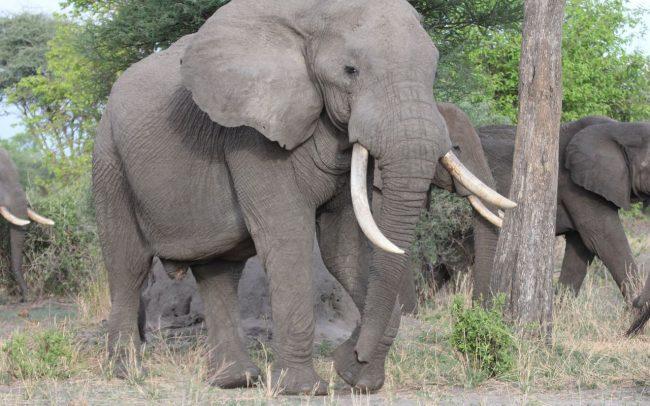 PAMS Tanzania Elephant Project Image 12